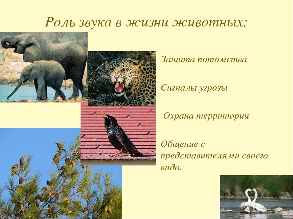 Роль звука в жизни животных: Защита потомства Сигналы угрозы Охрана территор...