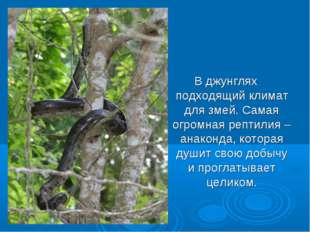 В джунглях подходящий климат для змей. Самая огромная рептилия – анаконда, к