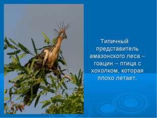 Типичный представитель амазонского леса – гоацин – птица с хохолком, которая