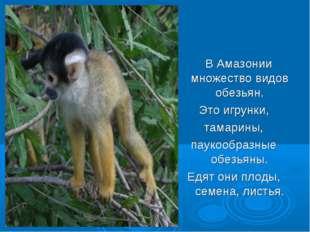 В Амазонии множество видов обезьян. Это игрунки, тамарины, паукообразные обе