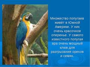 Множество попугаев живёт в Южной Америке. У них очень красочное оперенье. У