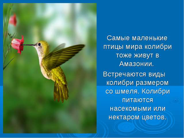 Самые маленькие птицы мира колибри тоже живут в Амазонии. Встречаются виды к...