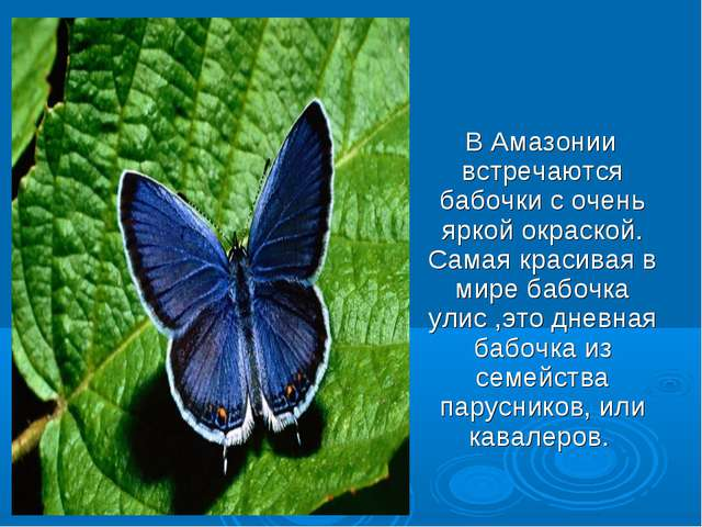 В Амазонии встречаются бабочки с очень яркой окраской. Самая красивая в мире...