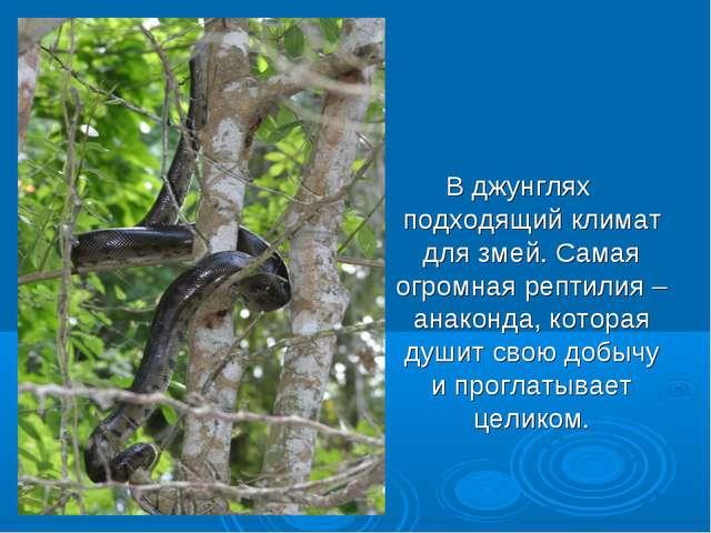 В джунглях подходящий климат для змей. Самая огромная рептилия – анаконда, к...