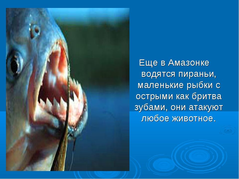 Еще в Амазонке водятся пираньи, маленькие рыбки с острыми как бритва зубами,...
