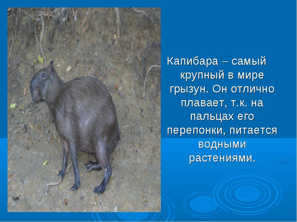 Капибара – самый крупный в мире грызун. Он отлично плавает, т.к. на пальцах е...