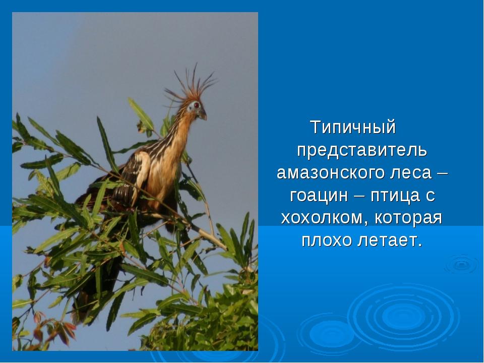 Типичный представитель амазонского леса – гоацин – птица с хохолком, которая...