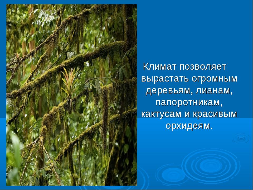 Климат позволяет вырастать огромным деревьям, лианам, папоротникам, кактусам...