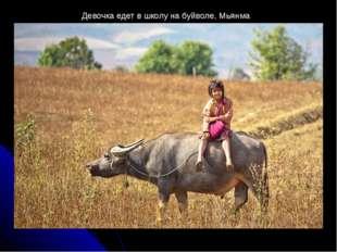 Девочка едет в школу на буйволе, Мьянма