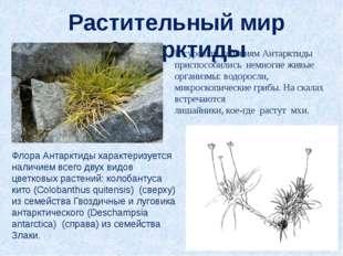 Растительный мир Антарктиды К суровым условиям Антарктиды приспособились немн
