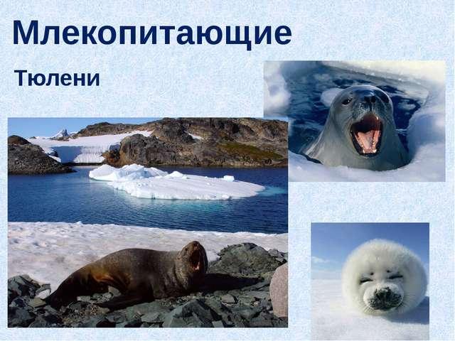 Млекопитающие Тюлени