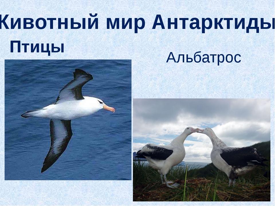 Животный мир Антарктиды Птицы Альбатрос
