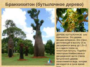 Бранхихитон (бутылочное дерево) ДЕРЕВО БУТЫЛОЧНОЕ или брахихитон. Это дерево