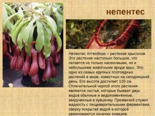 непентес Непентес Аттенборо – растение крысолов. Это растение настолько больш