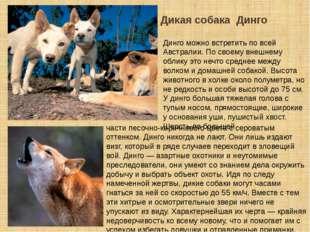Дикая собака Динго Динго можно встретить по всей Австралии. По своему внешнем