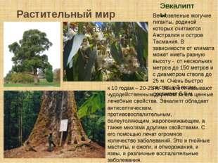 Растительный мир Эвкалипты Вечнозеленые могучие гиганты, родиной которых счит