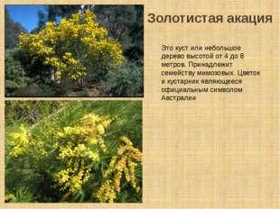 Золотистая акация Это куст или небольшое дерево высотой от 4 до 8 метров. При