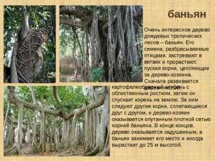 баньян Очень интересное дерево дождевых тропических лесов – баньян. Его семен