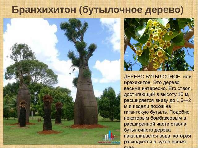 Бранхихитон (бутылочное дерево) ДЕРЕВО БУТЫЛОЧНОЕ или брахихитон. Это дерево...