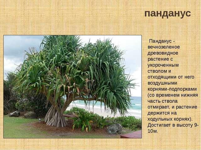 панданус Панданус - вечнозеленое древовидное растение с укороченным стволом и...