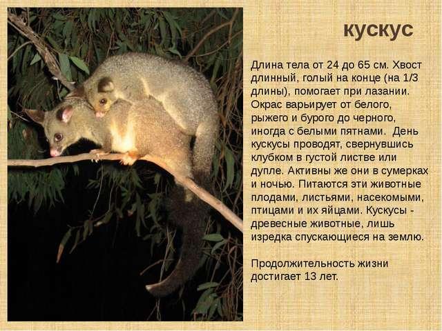 кускус Длина тела от 24 до 65 см. Хвост длинный, голый на конце (на 1/3 длины...