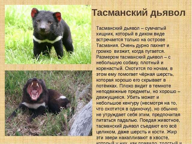 Тасманский дьявол Тасманский дьявол – сумчатый хищник, который в диком виде в...