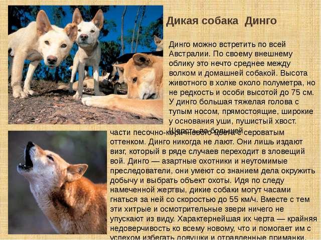 Дикая собака Динго Динго можно встретить по всей Австралии. По своему внешнем...