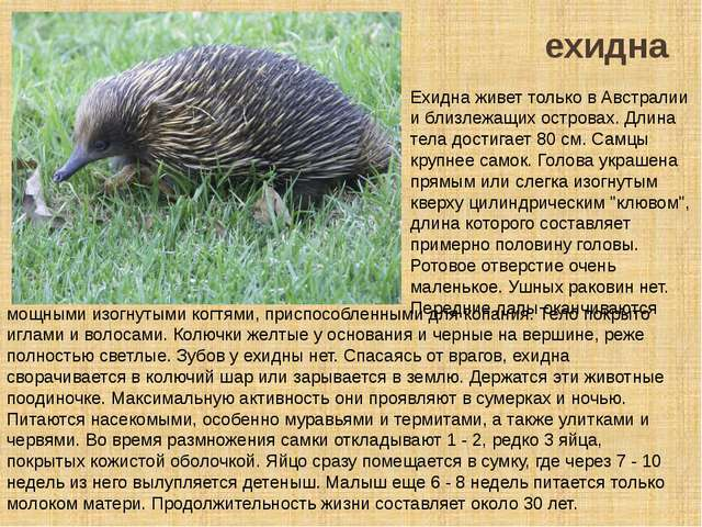 ехидна Ехидна живет только в Австралии и близлежащих островах. Длина тела дос...