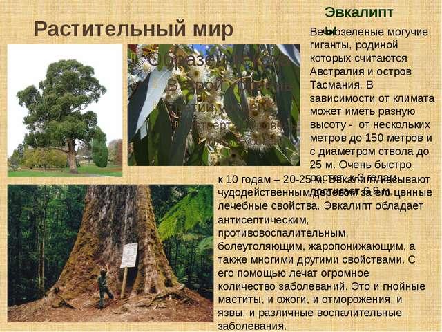 Растительный мир Эвкалипты Вечнозеленые могучие гиганты, родиной которых счит...