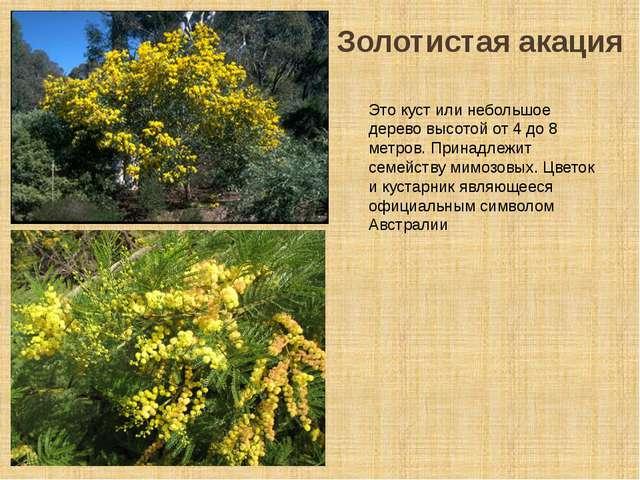 Золотистая акация Это куст или небольшое дерево высотой от 4 до 8 метров. При...