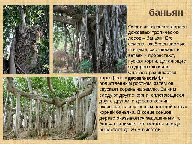 баньян Очень интересное дерево дождевых тропических лесов – баньян. Его семен...