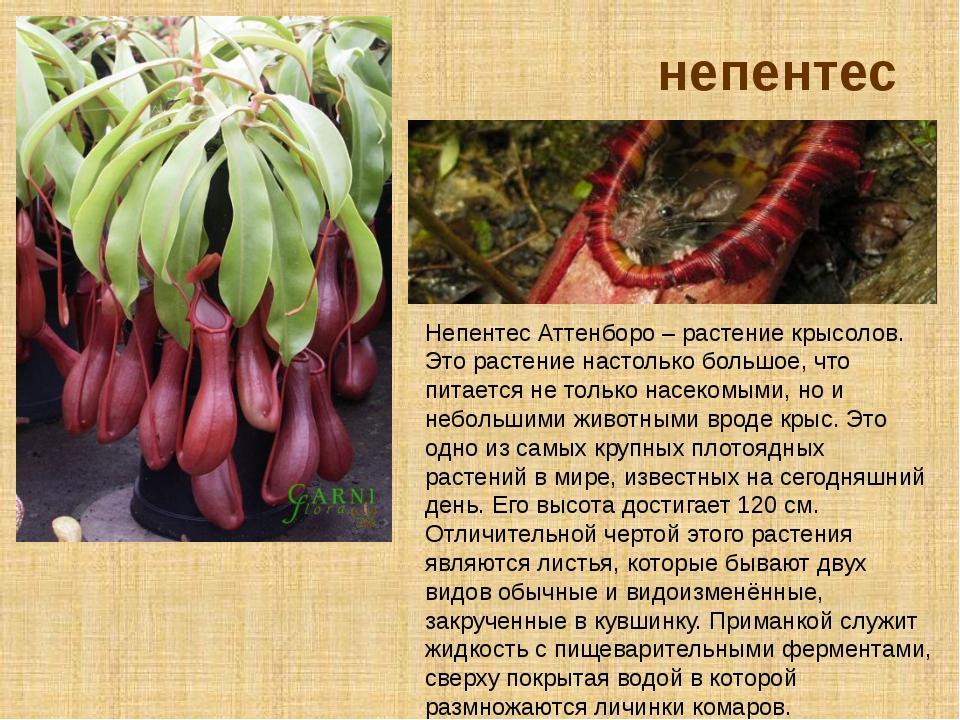непентес Непентес Аттенборо – растение крысолов. Это растение настолько больш...