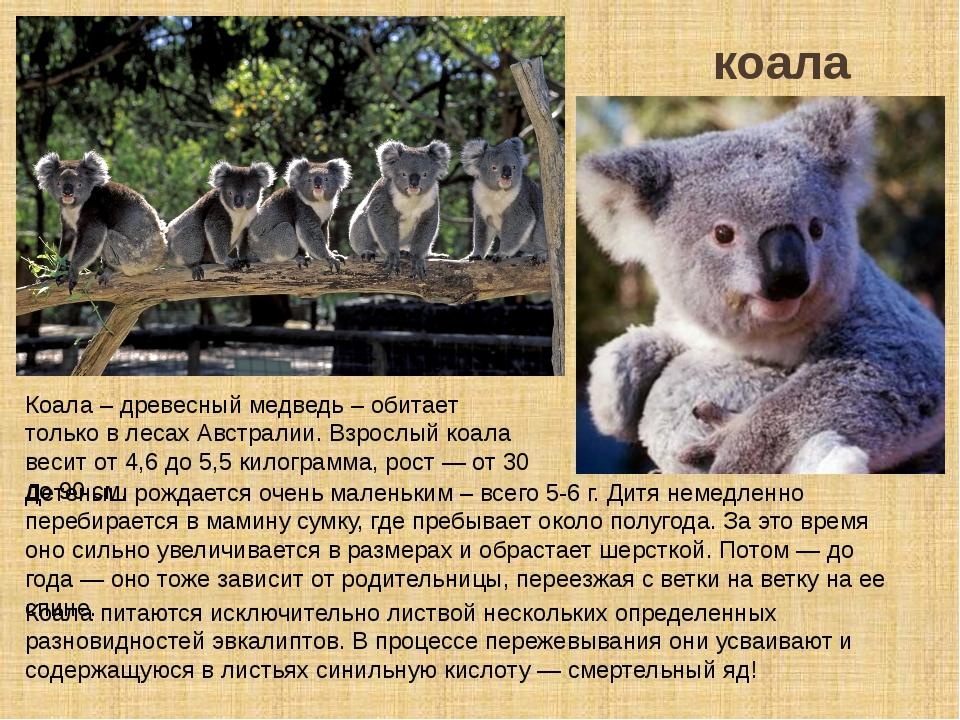 коала Коала питаются исключительно листвой нескольких определенных разновидно...