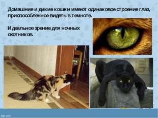 Домашние и дикие кошки имеют одинаковое строение глаз, приспособленное видеть
