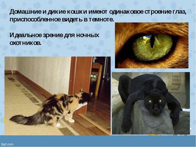 Домашние и дикие кошки имеют одинаковое строение глаз, приспособленное видеть...