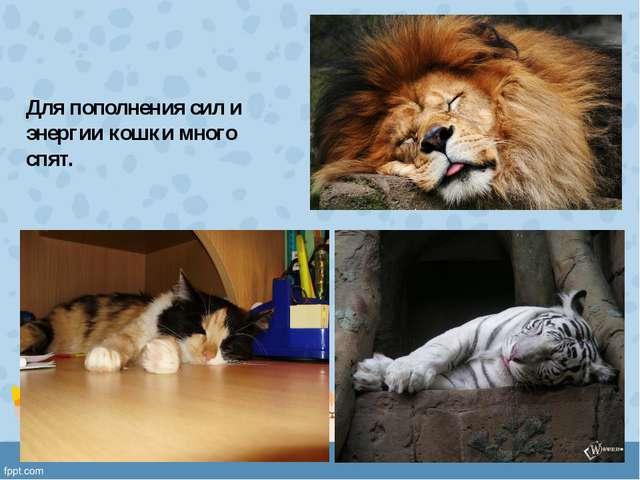 Для пополнения сил и энергии кошки много спят.