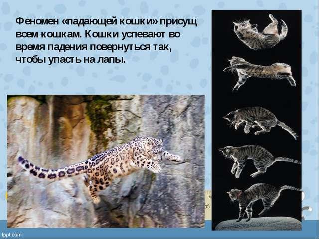 Феномен «падающей кошки» присущ всем кошкам. Кошки успевают во время падения...