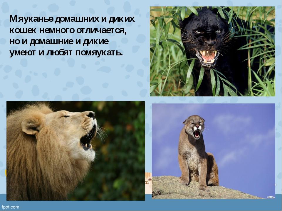 Мяуканье домашних и диких кошек немного отличается, но и домашние и дикие уме...