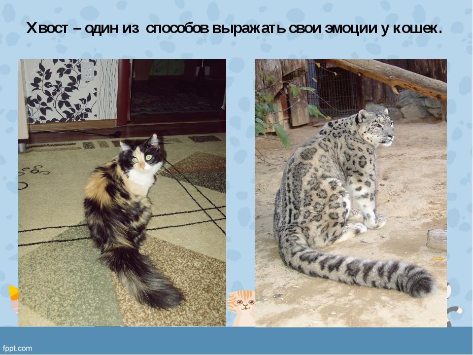 Хвост – один из способов выражать свои эмоции у кошек.