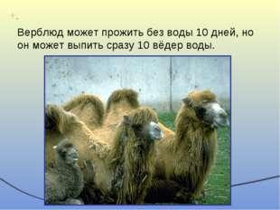 Верблюд может прожить без воды 10 дней, но он может выпить сразу 10 вёдер воды.