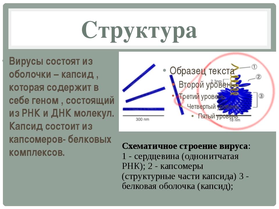 Структура Вирусы состоят из оболочки – капсид , которая содержит в себе геном...