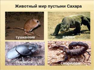 тушканчик скарабей скорпион варан Животный мир пустыни Сахара