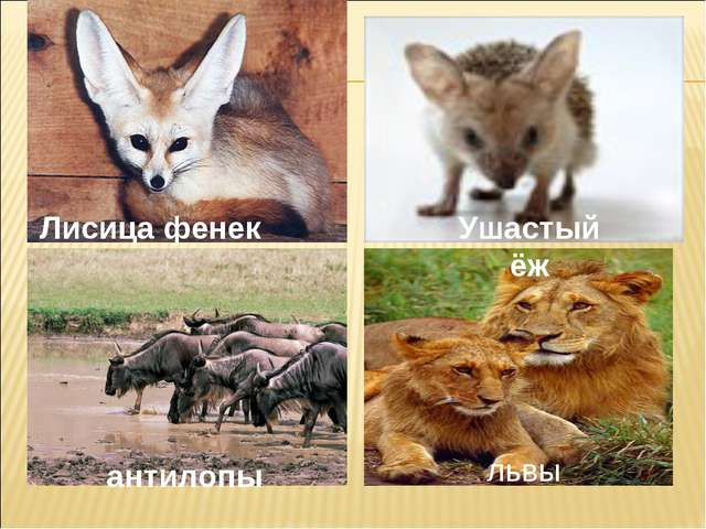 Лисица фенек антилопы Ушастый ёж львы