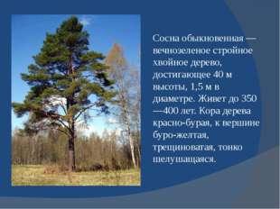 Сосна обыкновенная — вечнозеленое стройное хвойное дерево, достигающее 40 м в