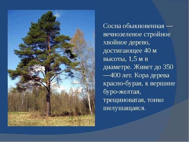 Сосна обыкновенная — вечнозеленое стройное хвойное дерево, достигающее 40 м в...