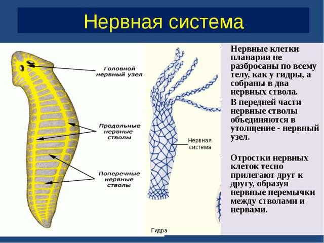 Нервная система Нервные клетки планарии не разбросаны по всему телу, как у ги...