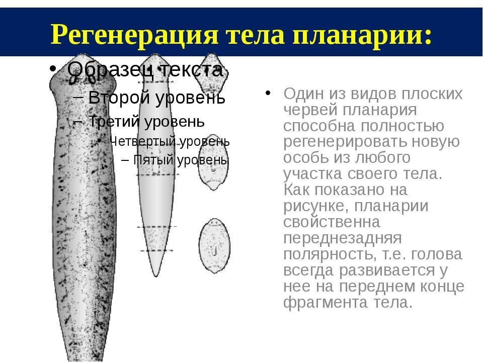 Регенерация тела планарии: Один из видов плоских червей планария способна пол...