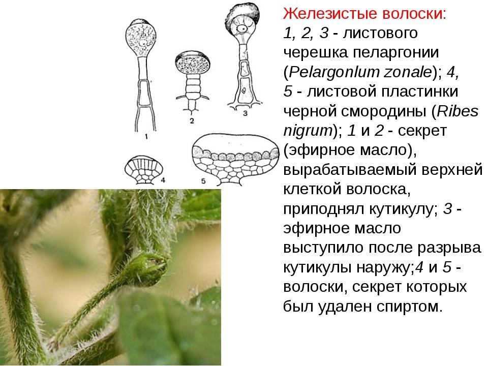 Железистые волоски: 1, 2, 3- листового черешка пеларгонии (Pelargonlum zonal...