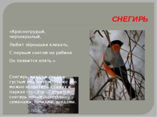 СНЕГИРЬ «Красногрудый, чернокрылый, Любит зёрнышки клевать, С первым снегом