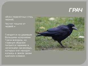 ГРАЧ «Всех перелётных птиц черней, Чистит пашню от червей.» Гнездятся на дер